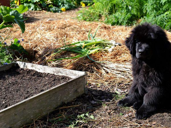 Pallkrage nysådd med spenat i köksträdgården. En valp tittar på.