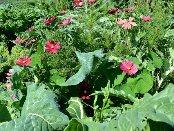 Kål och sommarblommor i en samplantering.
