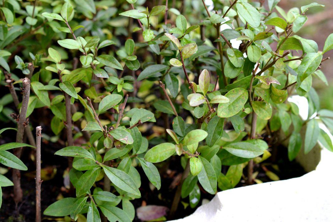 Sticklingar med gröna blad i en vit låda.
