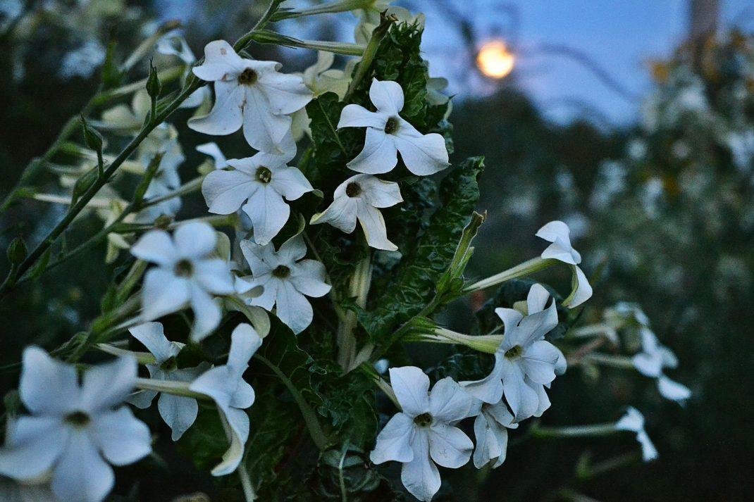 Mangold och blomstertobak under fullmånen.
