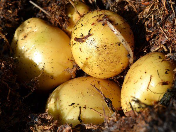 Potatis ligger på en bädd av täckmaterial.