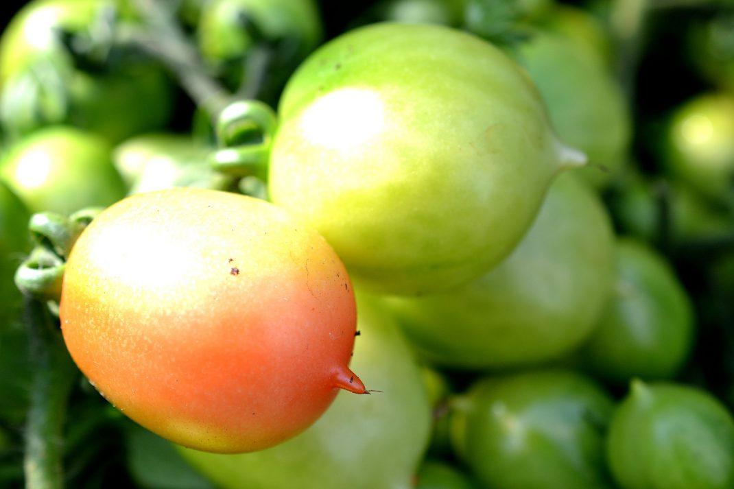 Vackert formade tomater med en liten spets i ena änden.