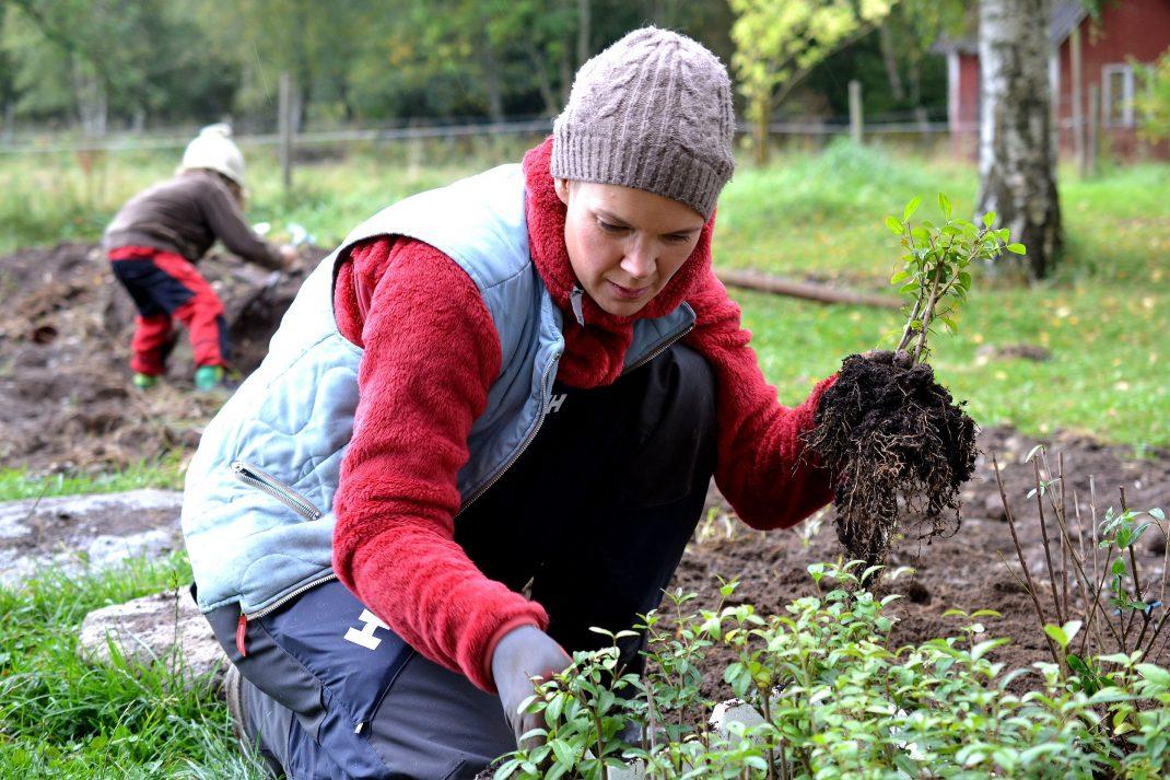 Sara planterar en häck.