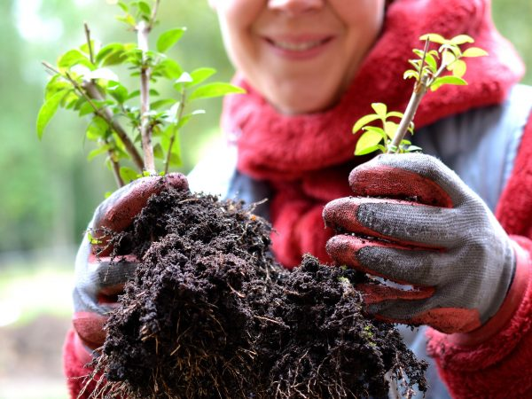 Sara håller upp plantor av liguster från sticklingar.