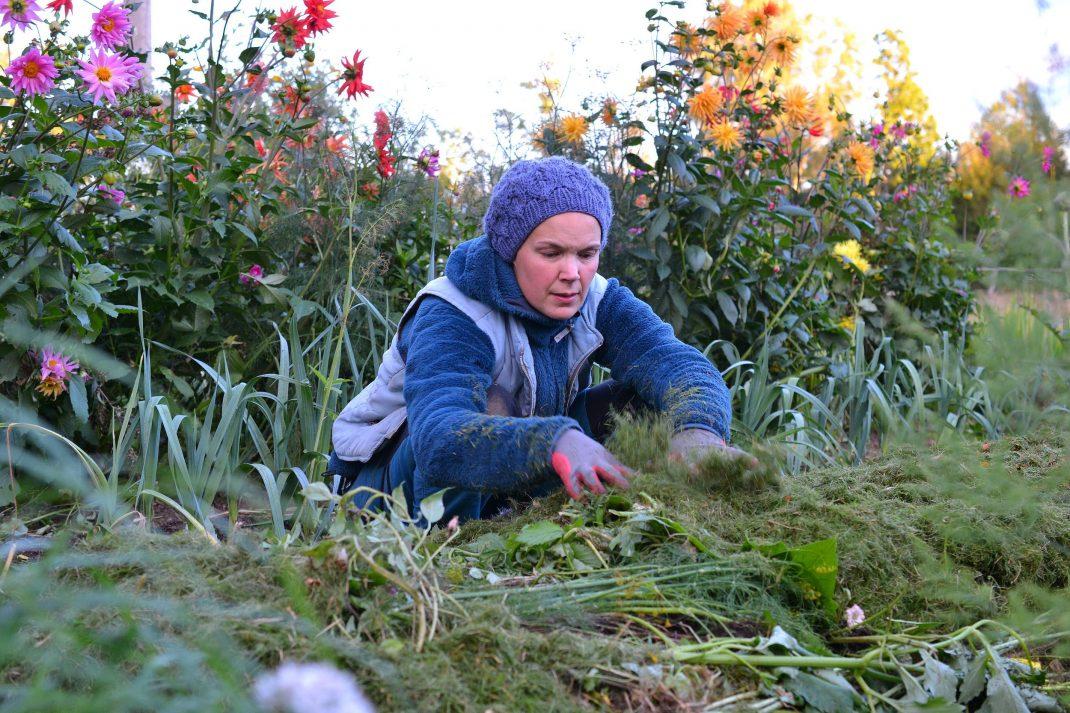 Sara i blåa arbetskläder lägger ut färskt gräsklipp på odlingsbädden.