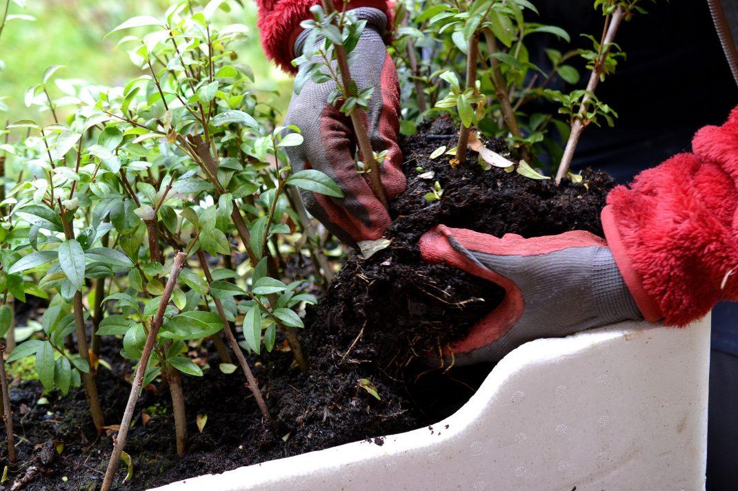 Händer särar på sticklingsplantor.