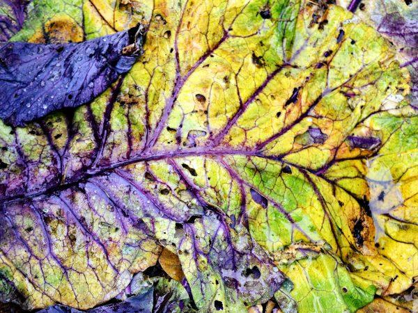 Ett gulnat kålblad täcker marken i köksträdgården.