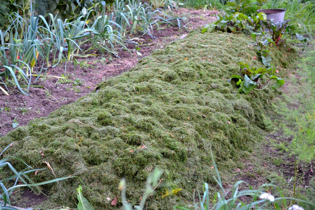 En flera meter lång odlingsbädd täckt av färskt gräsklipp.