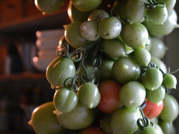Upphängda tomater lagras inomhus.