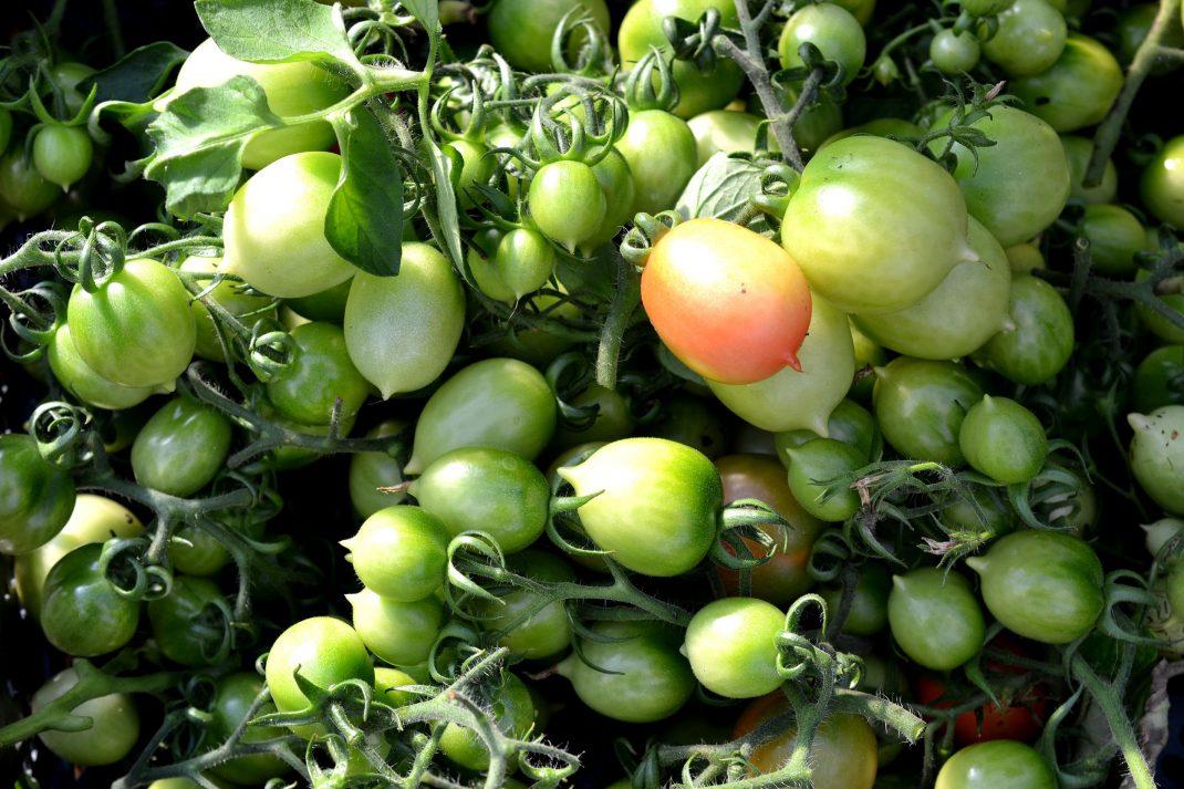 Gröna tomater ligger i en back.