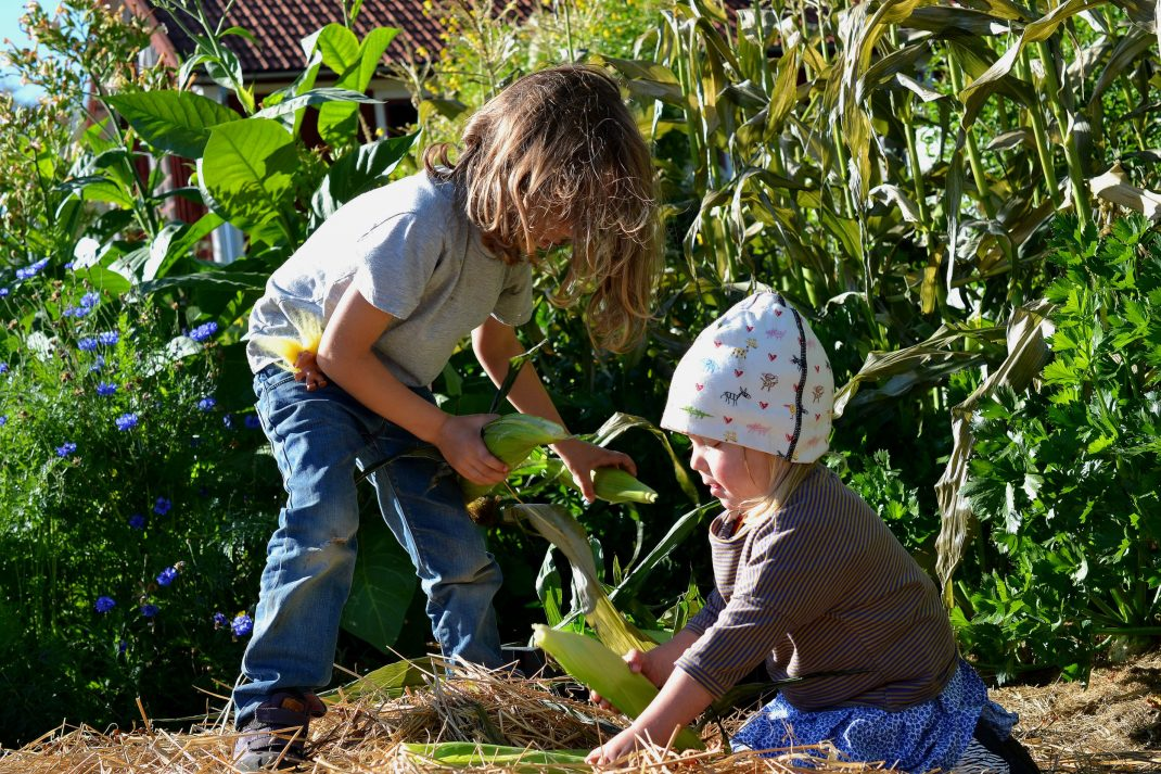 Barn lägger majs i backar i köksträdgården.