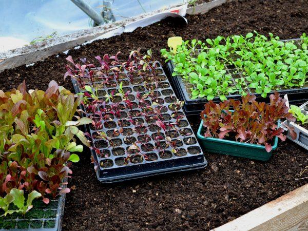 Småplantor i tråg står på en odlingsbädd redo att planteras.