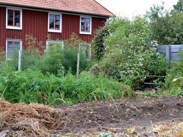 En djupbädd i köksträdgården, som täcks med halm.