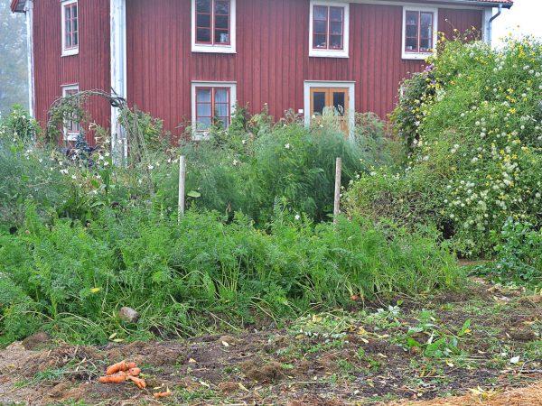Köksträdgården i höstligt förfall.