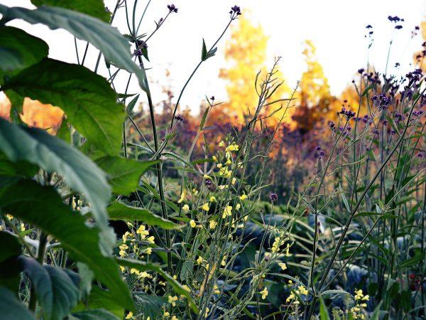 Köksträdgård med blommor i gult och lila i höstljus.