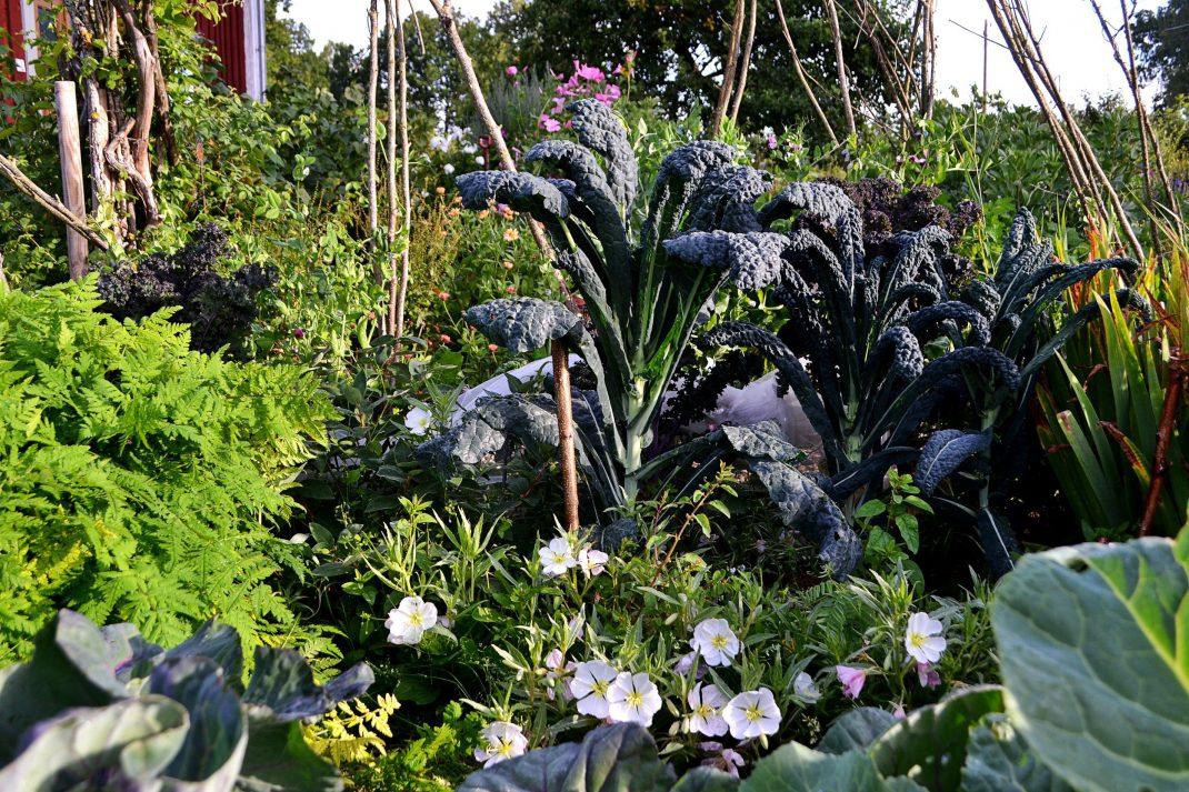 Hög svartkål och purpurkål i en somrig köksträdgård.