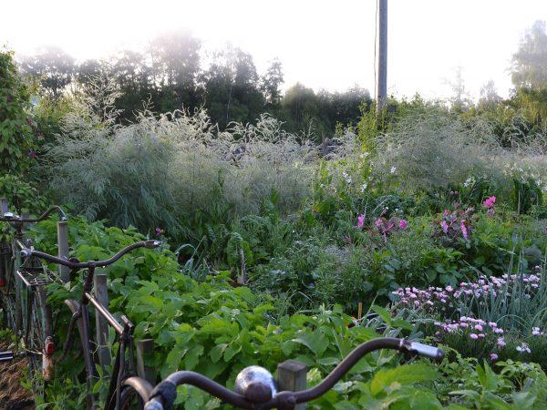Köksträdgården i morgonljus en sommar i juli.
