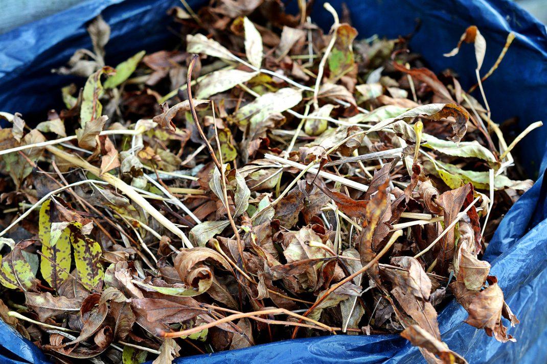 Ihopkrattade löv har lagts i en stor svart sopsäck.