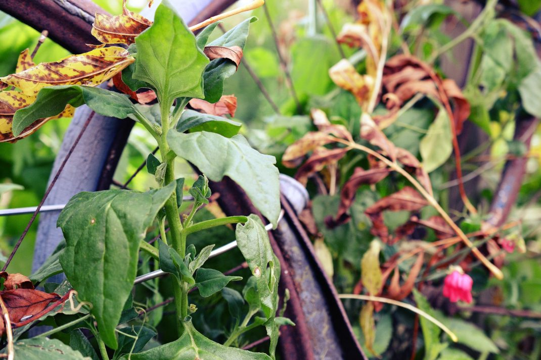 Gröna växter klänger längs en gammal rostig cykel.