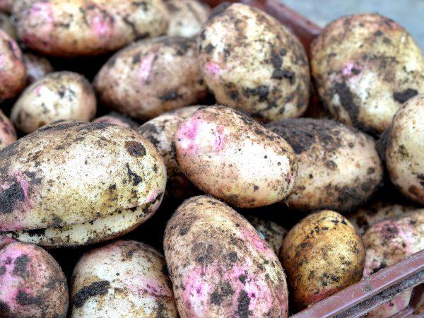 Den jättestora potatisen Amour ligger i en back.