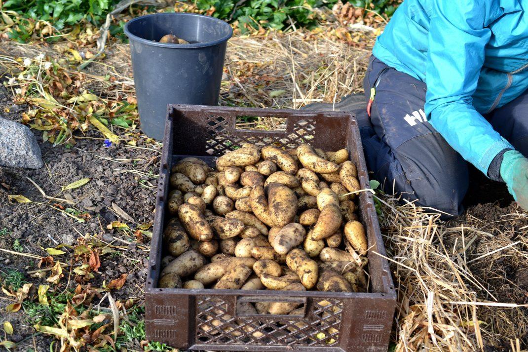 Potatis ligger i en back i trädgården.
