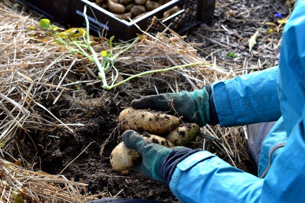 Mandelpotatis ligger i händer klädda i trädgårdshandskar.