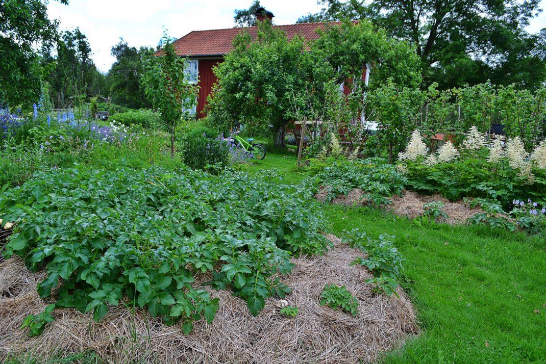 Potatis i en grönskande del av trädgården som inte just är köksträdgården.