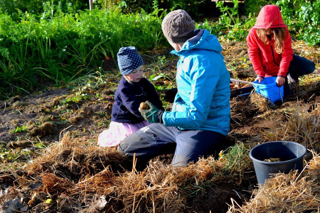 Mamma och barn skördar potatis tillsammans.