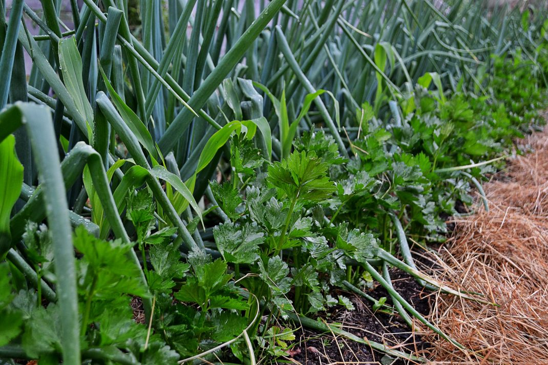 Lök och rotselleri i en samplantering.