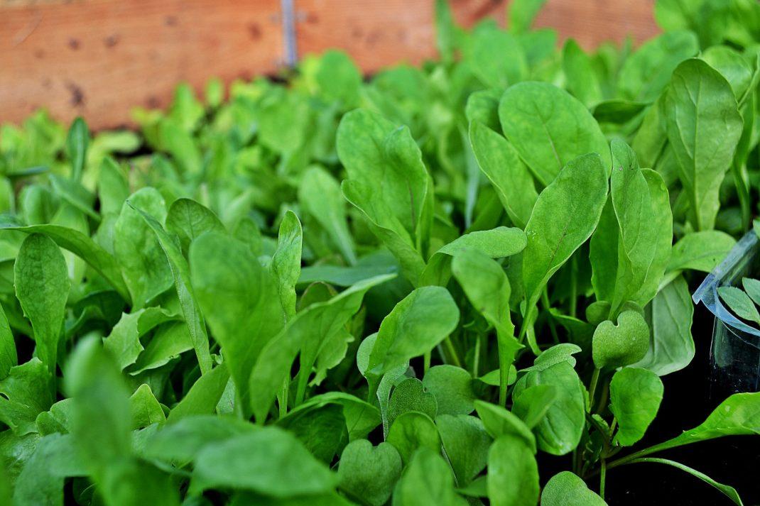 En grön matta av rucola växer på Bokashi-komposten.