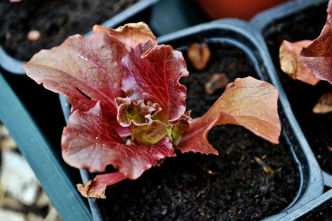 En liten rödbladig sallat växer i kruka.