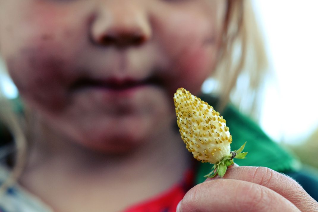 Ett litet barn håller ett stort vitt smultron framför ansiktet.