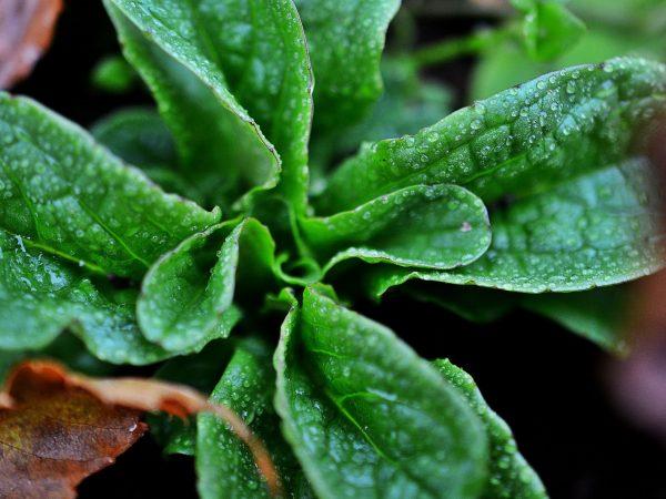 En grön bladrosett av vintersallat täcks av höstlöv.