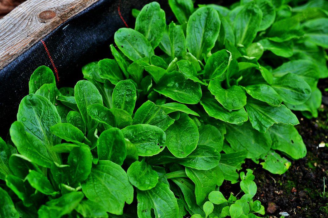 En grön frodig rad av vintersallat.