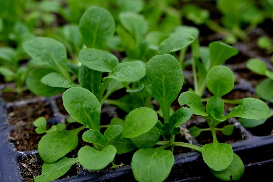 Små gröna plantor av vintersallat i ett pluggbrätte.