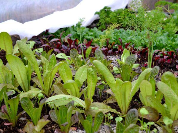 Bladgrönsaker på rad i tunnelväxthuset.