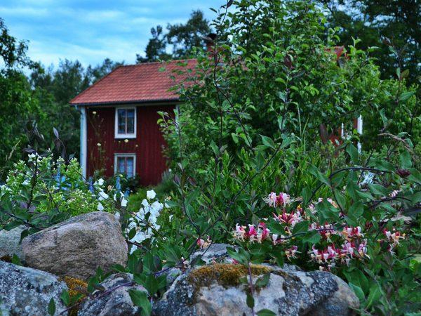 Trädgård i skymning med kaprifol i förgrunden längs stenmuren.