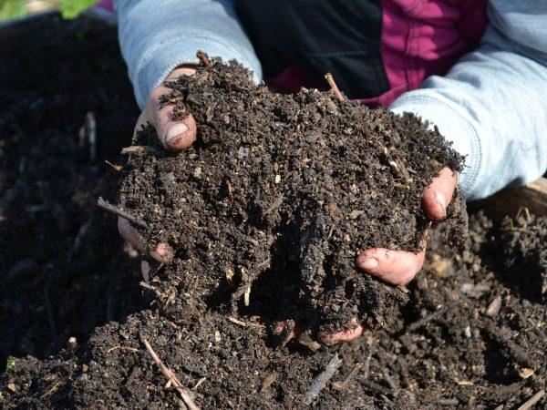 Händer som gräver i fin kompostjord.