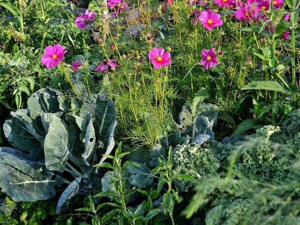 En vacker samplantering av kålväxter och rosenskära.