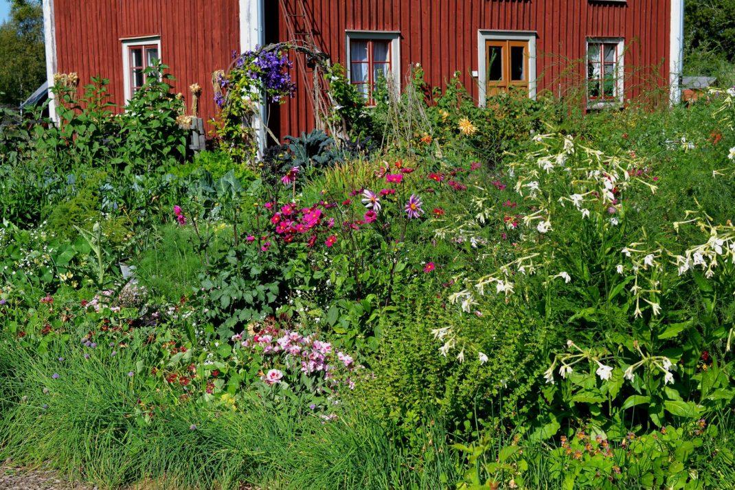 Frodig köksträdgård med mycket sommarblommor.