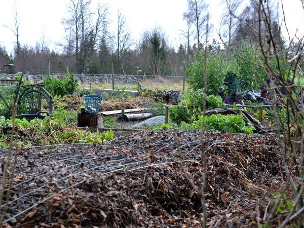 Väl täckta bäddar i förgrunden med resten av köksträdgården i bakgrunden.