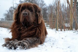 Newfoundlandshund ligger i snö.