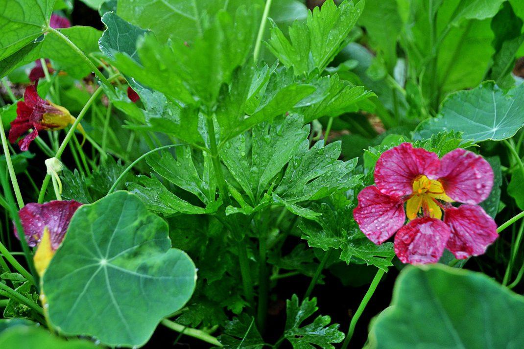 Rosa krasse i en plantering tillsammans med stjälkselleri.