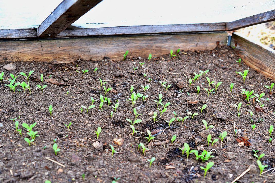Små plantor gror på jordytan i en pallkrage.