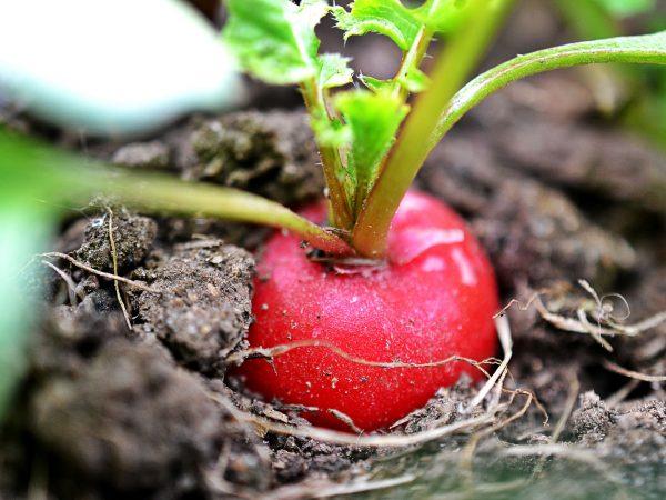 En illröd rädisa står i jorden.