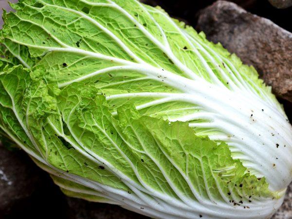 Ett fint och stort huvud av kinesisk salladskål.