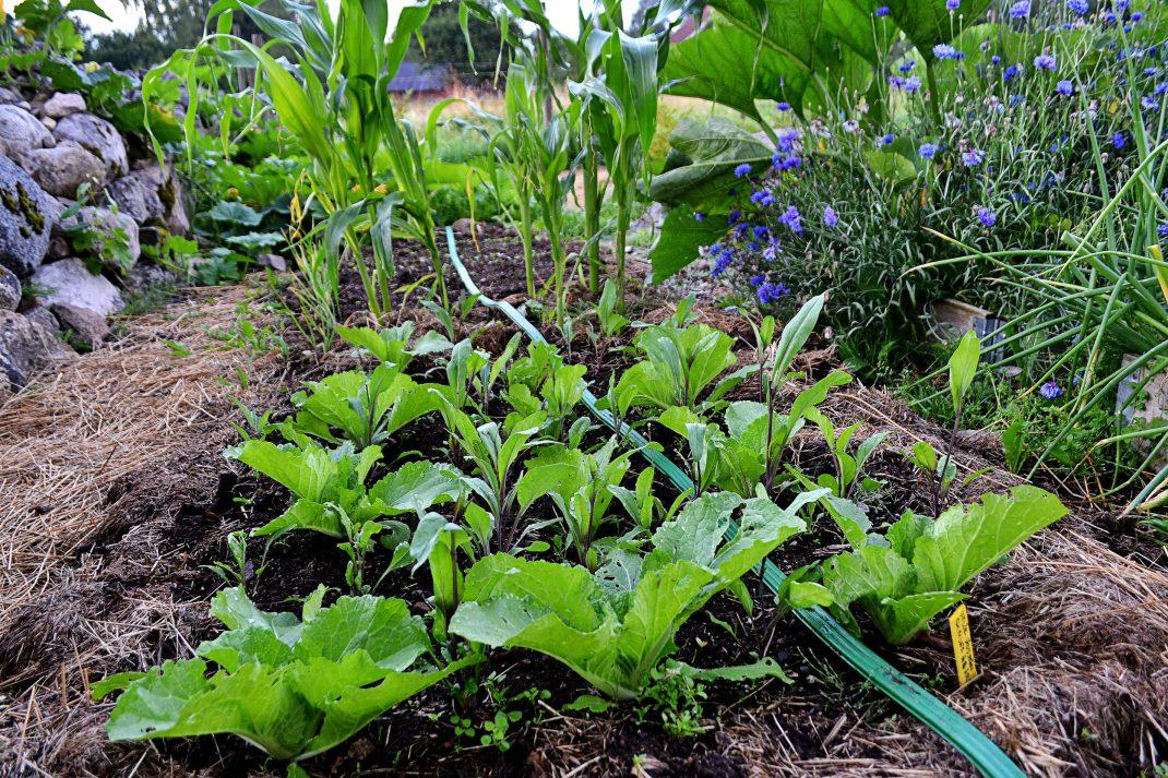 Plantor av salladskål växer i djupbädd.