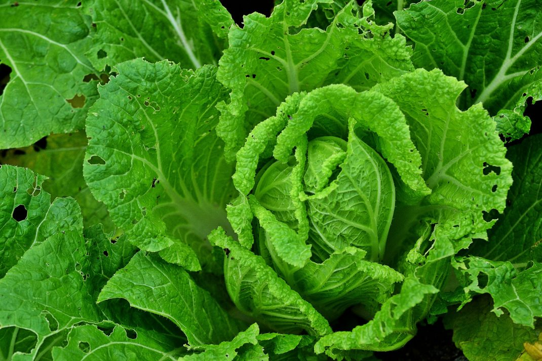 Ett grönt huvud av salladskål.