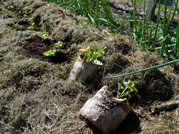 Plantor av rotselleri sätts ut i en bädd som är täckt av ett tjockt lager gräsklipp. m