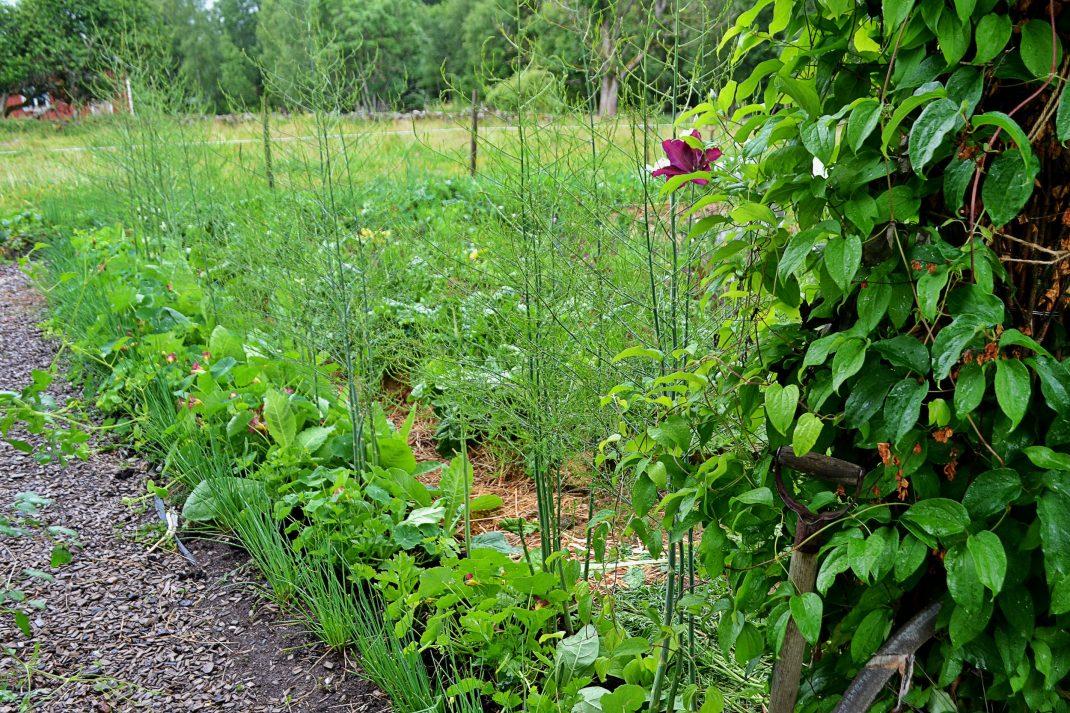 Mängder med växter samlas i samma bädd som den höga sparrisen.